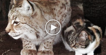A Homeless Cat Sneaks Into A Zoo, But Moments After Visitors Record Most Amazing Encounter…
