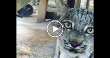 Beautiful Lynx Cat Has Something Important To Tell The Camera… Just Turn Up Your Volume And Listen!