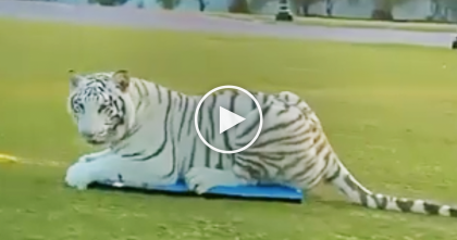 Big Cat Sees The A Moving Surfboard, But Then Just Watch How He Reacts To It After… TOO Funny!!