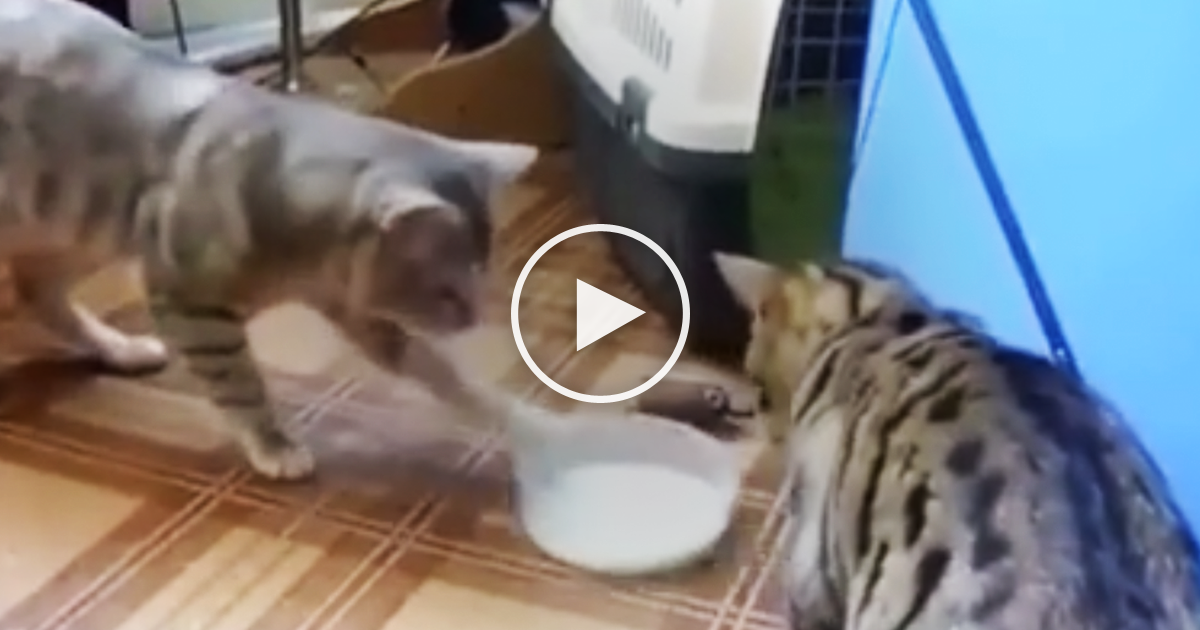 Cats Fighting Over Food Bowl