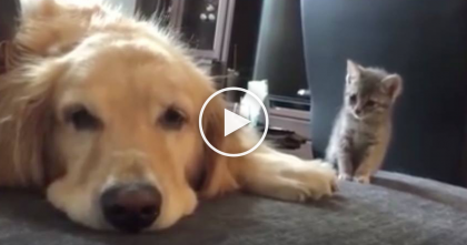 Doggie Having A Sad Day, But Just Watch What Kitten Does And You WON'T Stop Smiling… AWWWW!!