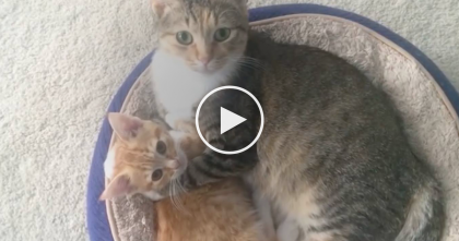 Feral Momma Cat Showers The Runt Of The Litter With Love, But Watch The Ending… WOW