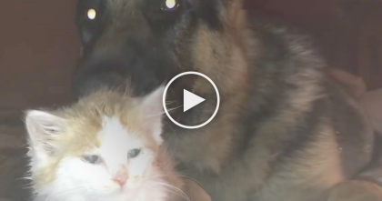 German Shepherd Meets The New Foster Kitty For The First Time…And Seeing Them Together Will Melt Your Heart!
