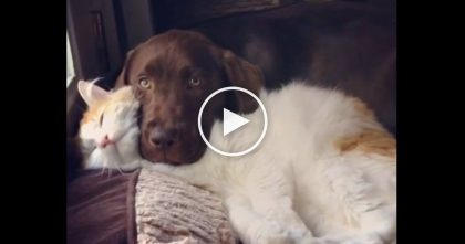 Kitty Tries To Lay Down, But Then Doggie Takes Advantage Of His Cuddly New Cat Pillow, Just Watch