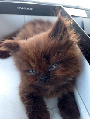 meet-brownie-the-cat-who-almost-didnt-make-it-but-one-year-later-the-end-result-is-just-amazing-5