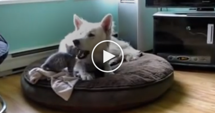 Tiny Kitten Notices The Dogs Ears And Just Can't Stop His Curiosity…And It's SOO Adorable To Watch!!