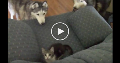 Two Huskies Meet Newest Member Of The Family…And It's CUTER Than Ever, Just Watch!