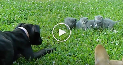 "WATCH: Brave Little Chihuahua Protects Baby Kittens From A Huge ""Beast""… SOO Sweet!"