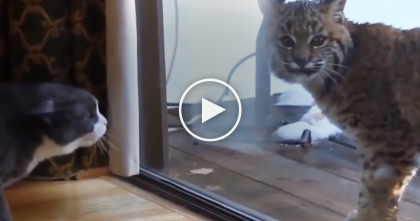 """Beautiful Wild Lynx Cat Surprise Visit, But Watch The House Cats Reaction When Lynx Says """"Hello""""…"""