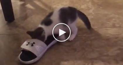 "Cat Loves ""Trying On"" Slippers, LOL… But Just Keep Your Eyes On His Head, This Is Hilarious!"