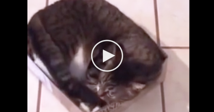 Cat Rejects All Other Places To Sleep And Refuses To Leave His Favorite Box… LOL, Just Watch!