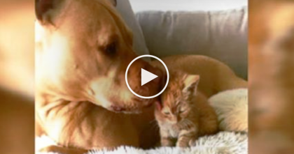 Ginger Kitten Met Families Adopted Pit Bull And Treats Her In The SWEETEST Way Ever… Watch!