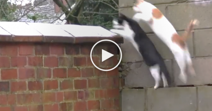 "Hilarious Moment When Cats Are Caught On Camera Jumping, But Then… ""OMG, What Just Happened?!"""