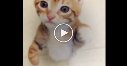 Orange Kitten Has Something To Say And Just Won't Stop Meowing! This Is TOO Adorable, WATCH