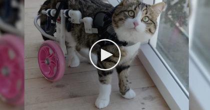 Paralyzed Cat Discovers He Can Do Anything He Puts His Mind To… This Cat Is A CHAMP!