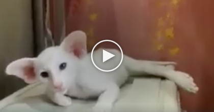 Strange Looking Cat Has The Weirdest Looking Ears I've Ever Seen… Omg, Just Watch This Cat!