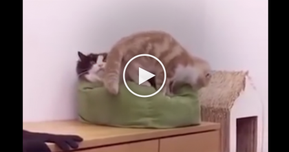 """There's Plenty Of Room! We'll Fit!""…WATCH The Other Cat's Expression When His Buddy Does The Funniest Thing!"