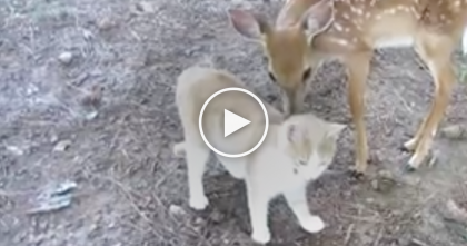 This Cat Walks Right Up To A Little Fawn, But Keep Watching For The Reaction… SWEETEST Ever!