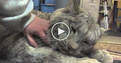 Video Of Big Sweet Cuddly Lynx Proves That Even Big Cats Love To Cuddle… This Is AMAZING!