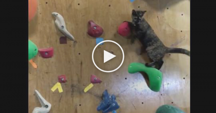 When You See What This Cat Does On The Rock Climbing Wall… You'll Be SPEECHLESS, Omg!