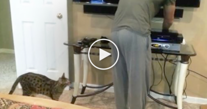 Sneaky Savannah Cat Gets His Owners Attention In The Funniest Way, Lol… WATCH.