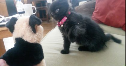 Adorable Attack Kitten Teaches Stuffed Dog A Lesson…Wow, Watch Out For This One! LOL