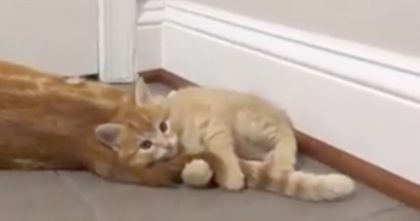 Adorable Kitten Latches Onto Mommy's Tail, And REFUSES To Go… Just Watch, This TOO Cute!!