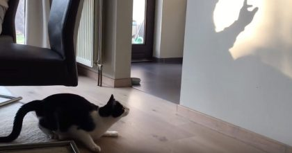 Cat Notices Movement On Wall, But Then Parkour Attacks Like Crazy… Watch Kitty's Reaction!