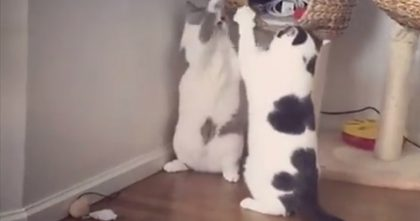 Cat Surprises His Friend, Then Has The Most Adorable Fight Ever… Just Watch Them GO, hahaha!!