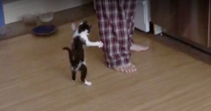Crazy Hyper Kitten Just CANNOT Contain Himself… Watch His Reaction To Humans Legs, OMG!!