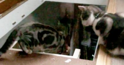 Evil Cat Sees His Friend Trying To Go Down Stairs, But Then Does The UNTHINKABLE… Just Watch!