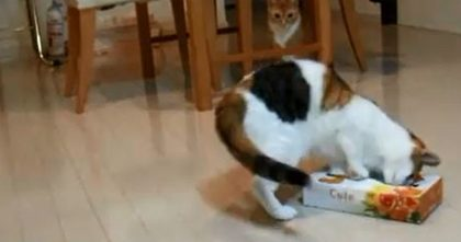 I'm Sorry For Laughing, But This Cat Is Hilarious… He ALWAYS Gets into The Boxes And Does This!!