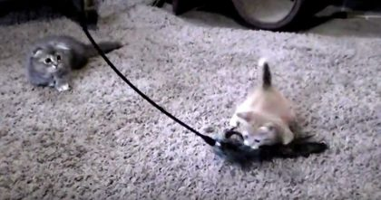 They Bought A New Cat Toy, But When The Kittens Start Playing With It?? Just Watch, Hahaha!!