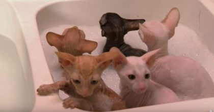 Watch Hairless Kittens Get A Bubble Bath For The First Time… Oh My Goodness, TOO Cute!!