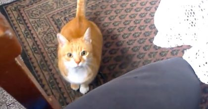 When Ginger Kitty Wants To Be With His Owner, Just Watch… It's The SWEETEST.