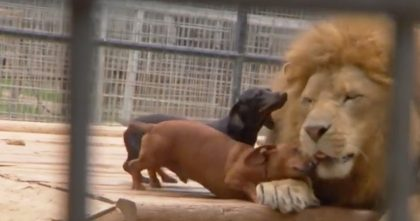 Wiener Dog And King Of The Jungle Can't Stand Being Away From Each Other!… SO Precious!!