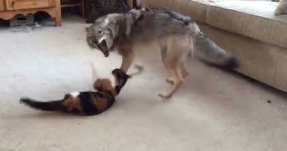 Coyote Looks Like He's About To Eat The Kitty, But Keep Watching… This Is The Best Thing Ever, Awww!!