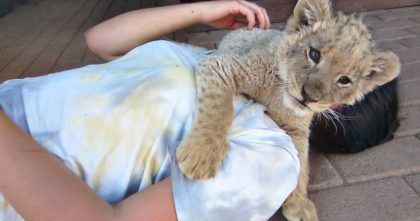 """Baby Lion """"Attacks"""" Rescuers With The Sweetest Cuddles Ever… This Is Just TOO Adorable, Awww!!"""