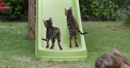 Bengal Kittens Discover A Slide, But You've Gotta See Their Reactions… BEST Day Ever, Hahahaha!!