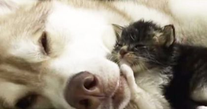 Frightened adopted kitten meets husky mama, but when you see the results… Such a beautiful story!!