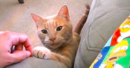 Kitty Demands Love From Her Human, But Just Watch The Results… This Will Melt Your Heart, OMG!!