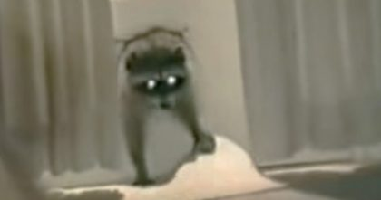 Raccoon Sneaks Through Cat Door To Steal Food, But Then Does Something Nobody Saw Coming… LOL.