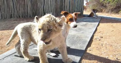 Rare White Lion Cub Abandoned By His Mom, But WATCH His Reaction When He Meets The Doggies!!