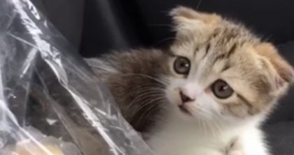 Rescued Three-Legged Kitten Has Hard Time Walking, But Watch What Kitty Does With Her Human Now