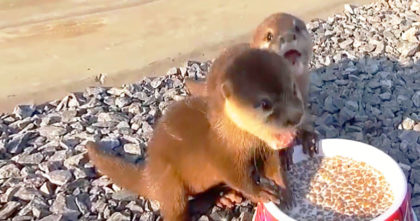 Baby Otters Were Kidnapped & Starved, But Then Rescued… Now Watch Their Response To A Meal!