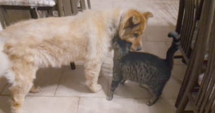 Watch The Reaction When Kitty Is Finally Reunited With Blind Doggie Friend… SOO Sweet!!