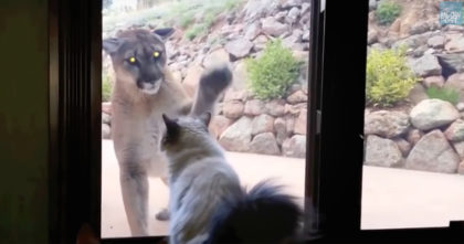 Fearless House Cat Confronts Wild Mountain Lion, But Then He Starts Recording… Oh My GOODNESS.