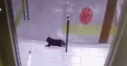 Mean doggie is chasing after the cat, but when the cat outsmarts him… I can't stop laughing, hahaha!!
