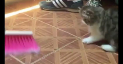 Watch The Kitten's Bouncy Reaction When He Notices His Human Sweeping The Floor… Hahahaha!!