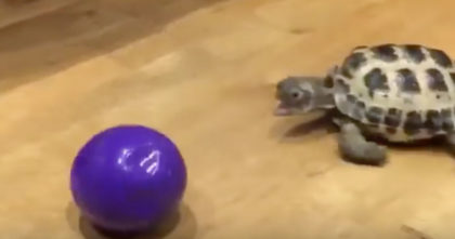 Watch The Reaction When They Give This Pet Tortoise A Ball To Play With… Oh My, Hahahaha!!